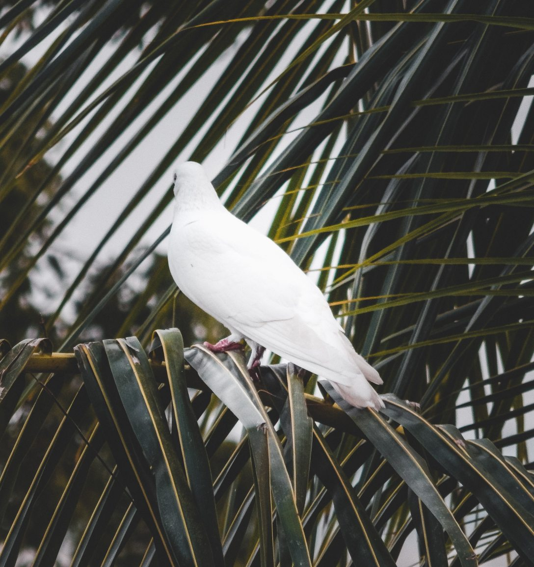 back view of white dove perched on palm tree branch